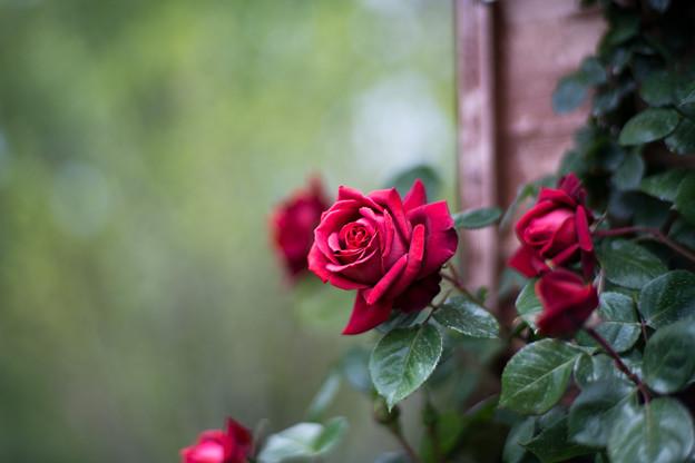 042花菜ガーデン【春バラ:チョコレート・サンデー】5