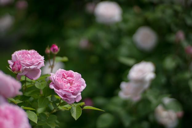021花菜ガーデン【春バラ:メアリー・ローズ】4