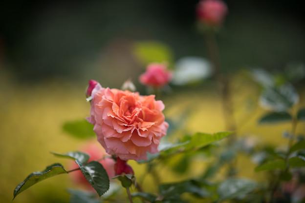 037花菜ガーデン【春バラ:花菜ローズ】5