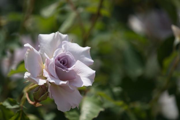 045花菜ガーデン【春バラ:ニュー・ウェーブ】3