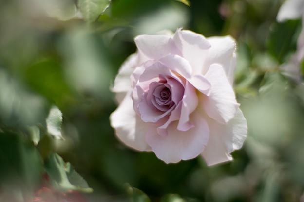 046花菜ガーデン【春バラ:ニュー・ウェーブ】4
