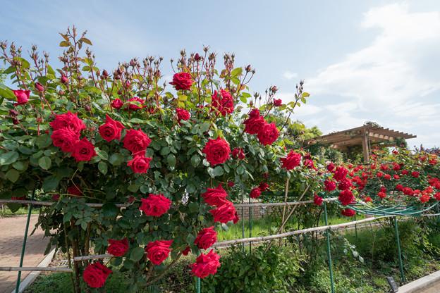047花菜ガーデン【春バラ:アンクル・ウォールター】1