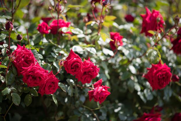 048花菜ガーデン【春バラ:アンクル・ウォールター】2