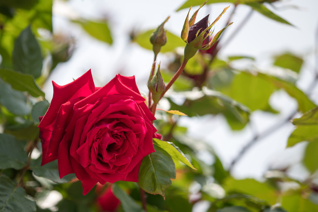 050花菜ガーデン【春バラ:アンクル・ウォールター】4