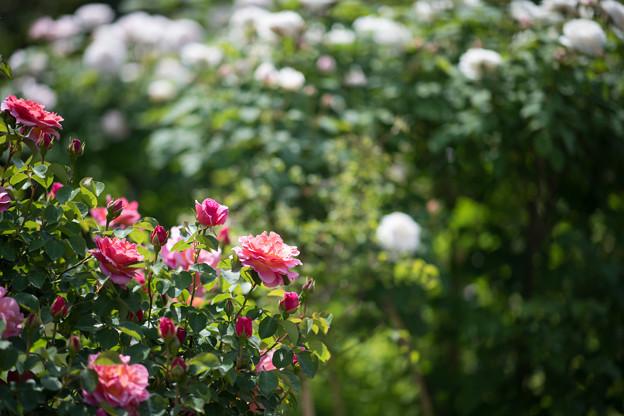 051花菜ガーデン【春バラ:リリアン・オースチン】1
