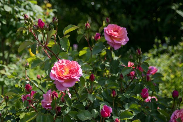 052花菜ガーデン【春バラ:リリアン・オースチン】2