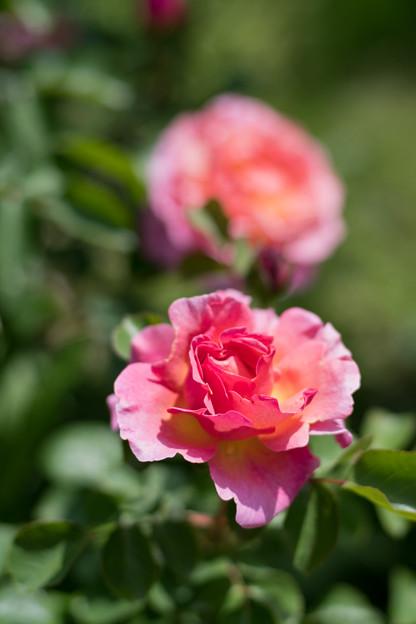 053花菜ガーデン【春バラ:リリアン・オースチン】3