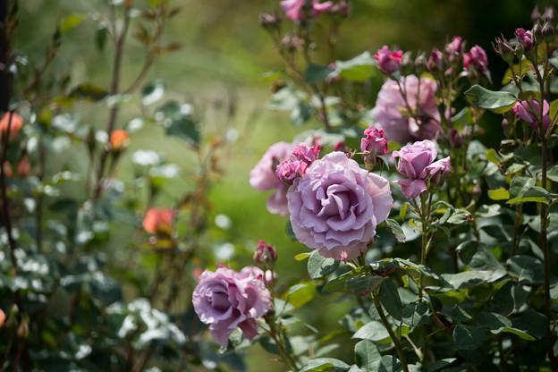 054花菜ガーデン【春バラ:若紫】1