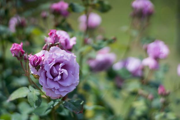 055花菜ガーデン【春バラ:若紫】2