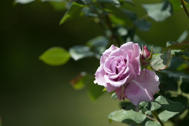 057花菜ガーデン【春バラ:若紫】4