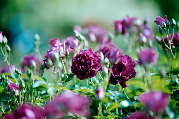 060花菜ガーデン【春バラ:バガンディ・アイスバーグ】3銀塩NLP