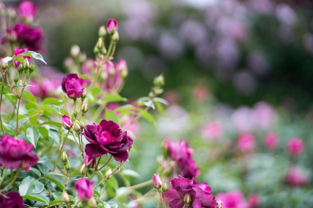061花菜ガーデン【春バラ:バガンディ・アイスバーグ】4