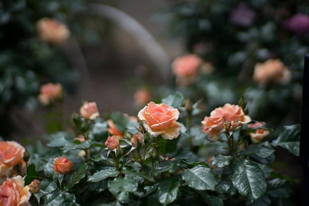 062花菜ガーデン【春バラ:フレグラント・アプリコット】1
