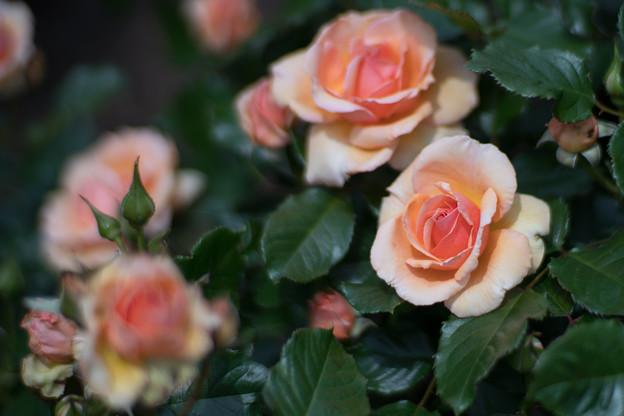 064花菜ガーデン【春バラ:フレグラント・アプリコット】3