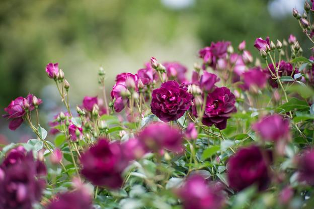 059花菜ガーデン【春バラ:バガンディ・アイスバーグ】2