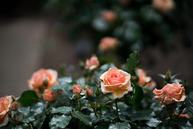 063花菜ガーデン【春バラ:フレグラント・アプリコット】2