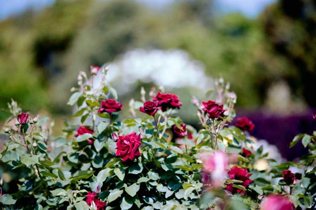 065花菜ガーデン【春バラ:黒真珠】1銀塩NLP