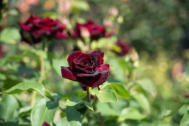 067花菜ガーデン【春バラ:黒真珠】