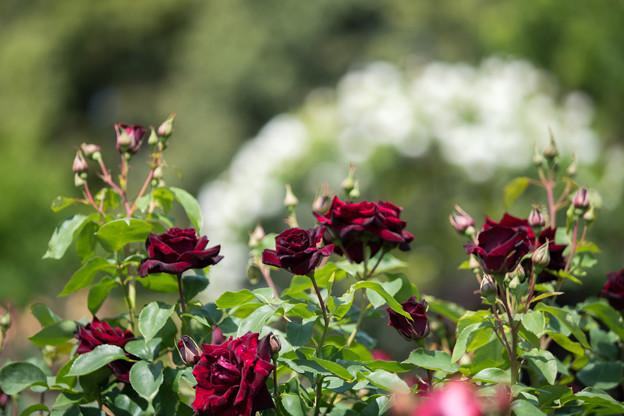 066花菜ガーデン【春バラ:黒真珠】