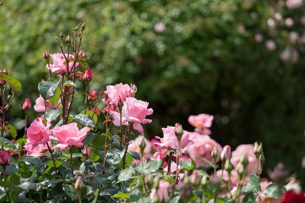 068花菜ガーデン【春バラ:クイーン・エリザベス】