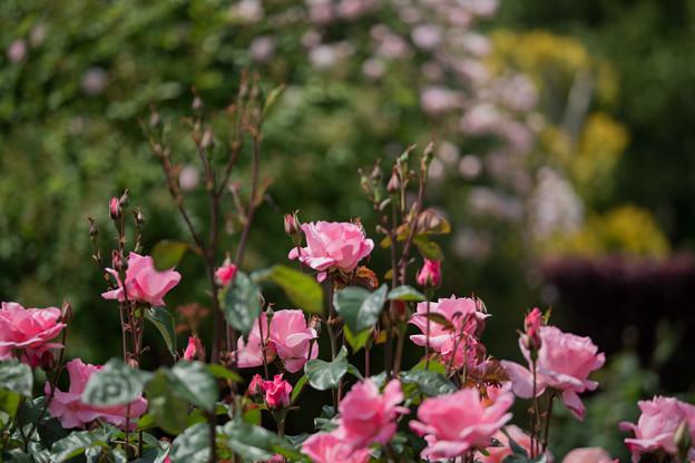 069花菜ガーデン【春バラ:クイーン・エリザベス】