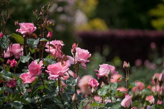 070花菜ガーデン【春バラ:クイーン・エリザベス】