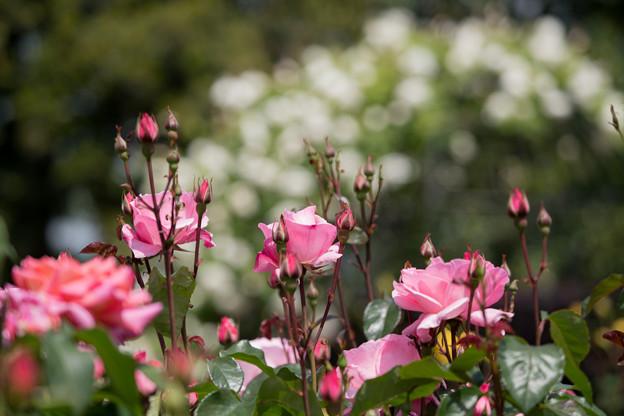 071花菜ガーデン【春バラ:クイーン・エリザベス】