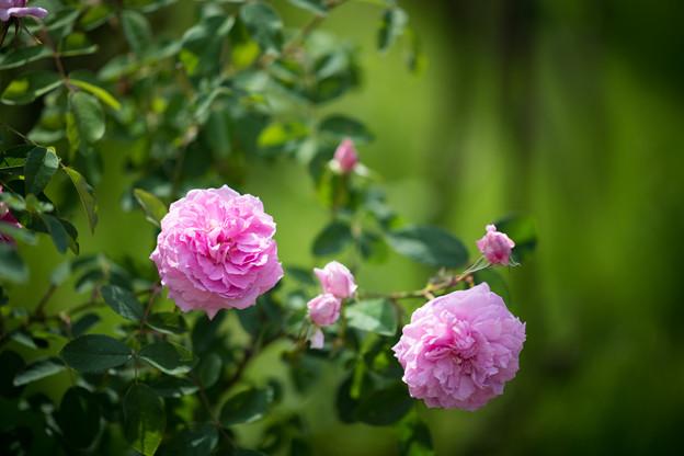 072花菜ガーデン【春バラ:ザ・メイフラワー】