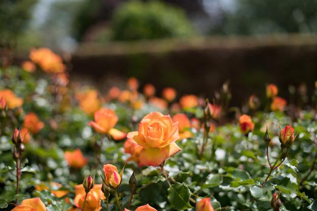 076花菜ガーデン【春バラ:サハラ'98】