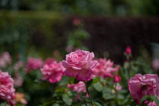 075花菜ガーデン【春バラ:プリマ・バレリーナ】