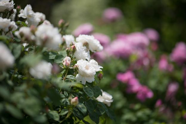 077花菜ガーデン【春バラ:ウィンチェスター・キャシードラル】