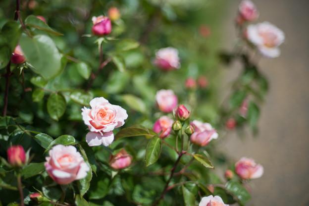 078花菜ガーデン【春バラ:タモラ】