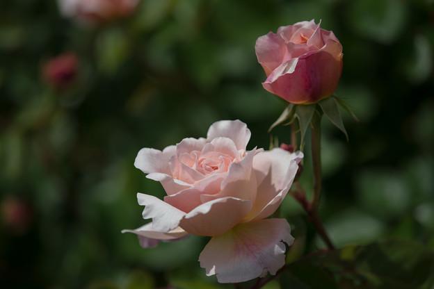 079花菜ガーデン【春バラ:タモラ】