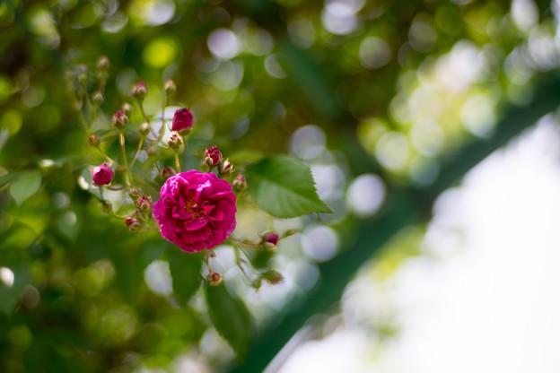080花菜ガーデン【春バラ:ケイコズ・ドリーム】