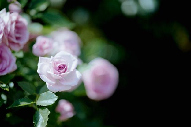 082花菜ガーデン【春バラ:コティリオン】銀塩NLP