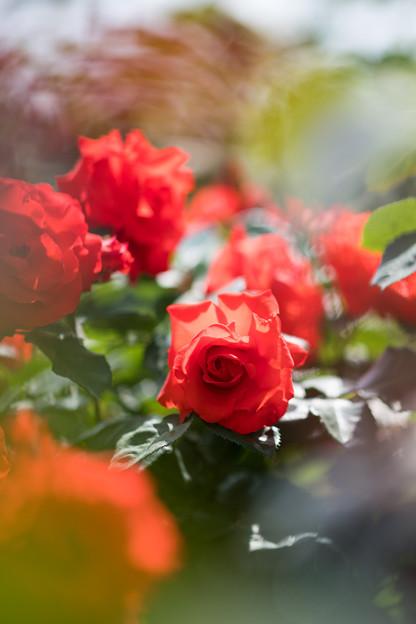 086花菜ガーデン【春バラ:チンチン】