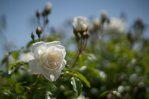 087花菜ガーデン【春バラ:つる・アイスバーグ】