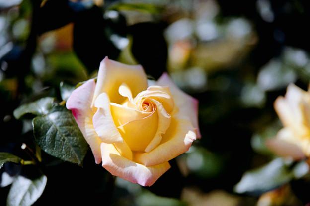 085花菜ガーデン【春バラ:ピース】銀塩NLP