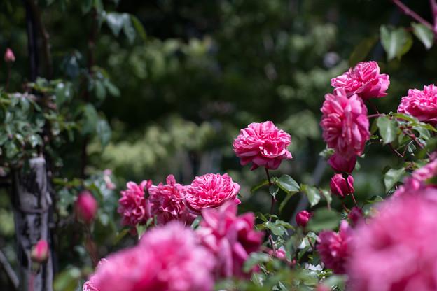 091花菜ガーデン【春バラ:アルシデュック・ジョゼフ】