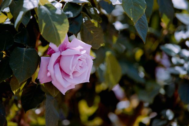 092花菜ガーデン【春バラ:シャルル・ド・ゴール】銀塩NLP