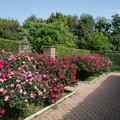 095花菜ガーデン【春バラ:ノックアウト】