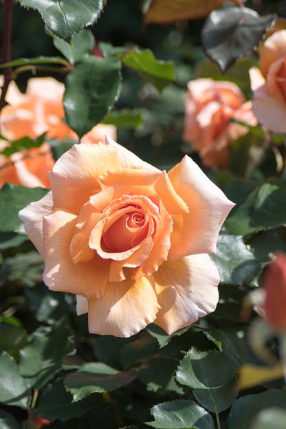088花菜ガーデン【春バラ:ジャスト・ジョイ】