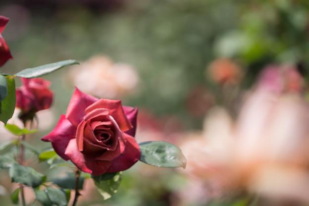 100花菜ガーデン【春バラ:ブラック・ティー】