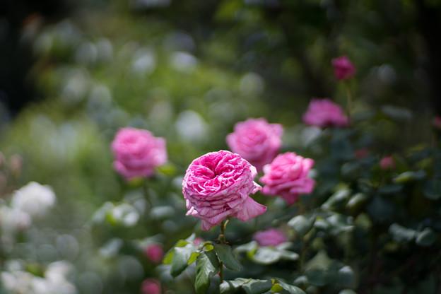 093花菜ガーデン【春バラ:ブルグメーステル・ベルガー】