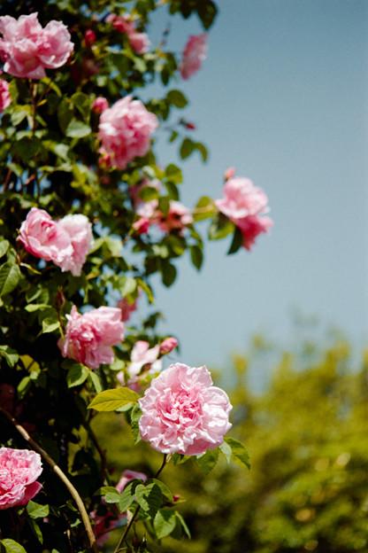 104花菜ガーデン【春バラ:マダム・サンシー・ドゥ・パラベール】銀塩NLP