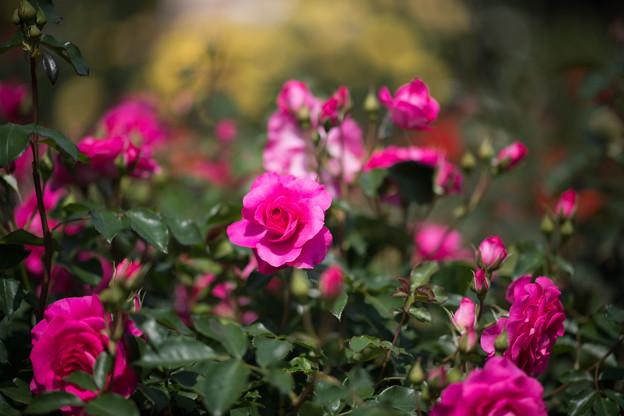 105花菜ガーデン【春バラ:うらら】