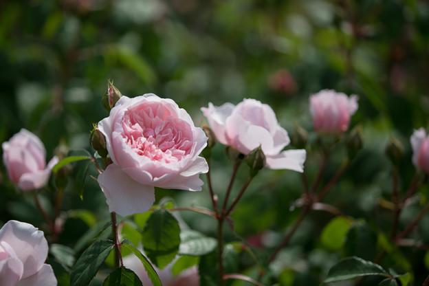107花菜ガーデン【春バラ:ウィズレー2008】