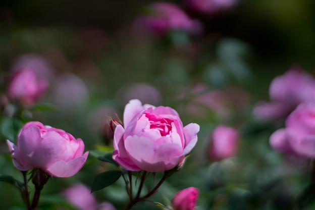 106花菜ガーデン【春バラ:スカイラーク】