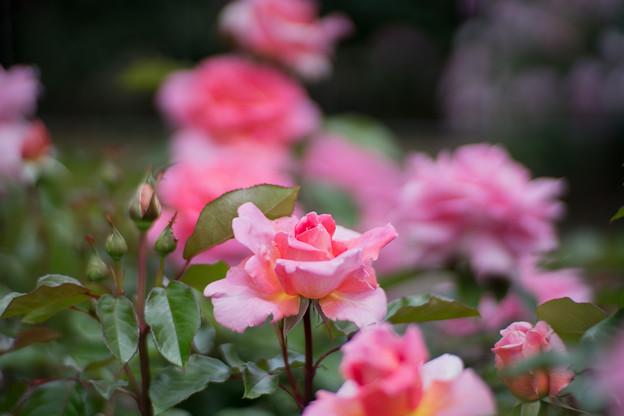 108花菜ガーデン【春バラ:香澄】