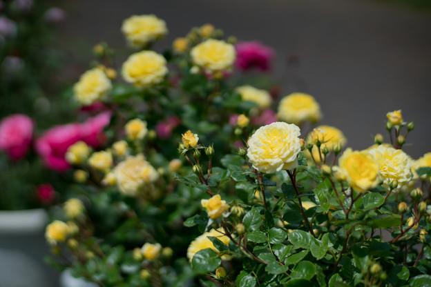 110花菜ガーデン【春バラ:ベル・ロマンティカ】